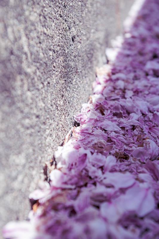 桜amatu -2103313